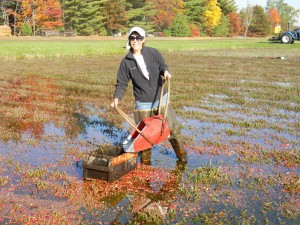 me harvesting cranberries by hand